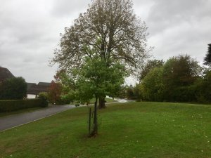 Horse Chestnut tree to be removed from Hopton Green, Cam
